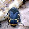 Harlequin Flower Beetle, Flower Chafer