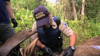 Moose/Man Hunt