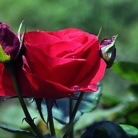 DEB#10 by Debanjan Goswami - Flowers Flower Buds ( 05-01-2017 )