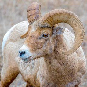 Bighorn by Michelle Bergeson - Animals Other Mammals ( outdoors, wildlife, sheep, bighorn, tan,  )