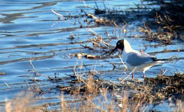 Photo: Озерная чайка (Larus ridibundus), Миссолонги. Взрослая.