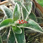 Besouro-pulga