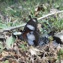 Danaid Eggfly male
