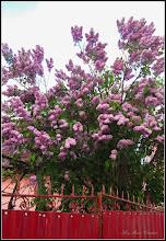Photo: Liliac  (Syringa vulgaris) - din Turda, Str. Fabricii - 2019.04.28