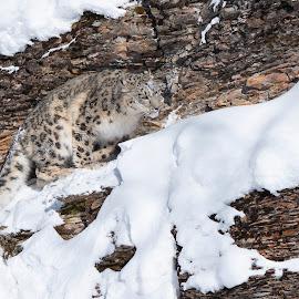 Snow Leopard by Jack Nevitt - Animals Lions, Tigers & Big Cats ( hiding, rocks, snow leopard, snow, winter )