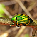 Green and yellow scarab