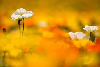 Photo: White poppies in fields of mainly yellow and orange poppies - shot in Shouwa Memorial Park in Tachikawa, Japan.