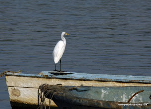 Photo: Great Egret, Matanchen Bay