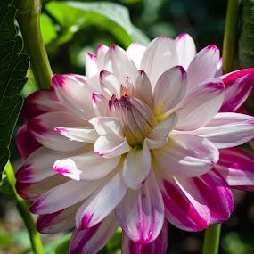 Dahlia, Delighted by Judy Wright Lott - Flowers Single Flower ( bellingham, nature, blooms, glen echo, dahlias, gardens, flowers, outside )