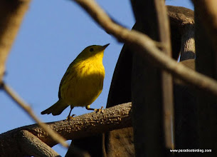 Photo: Yellow Warbler at Nuevo Vallarta