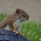 Baby  American red squirrel
