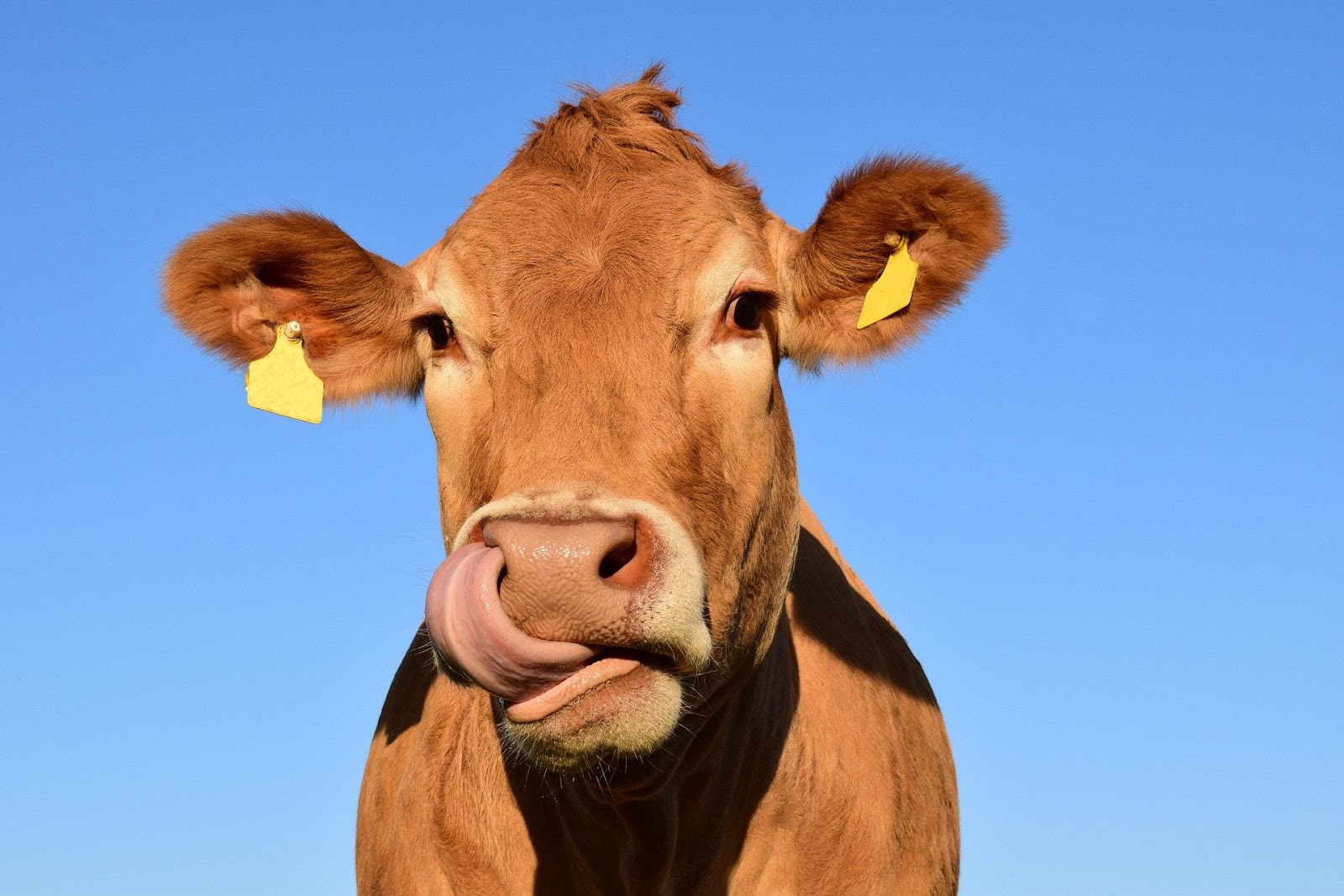 happy cow with its tongue out for vegan snacks