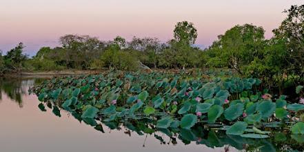 Photo: Day 3 -  Lotus Lillies © Ian Morris