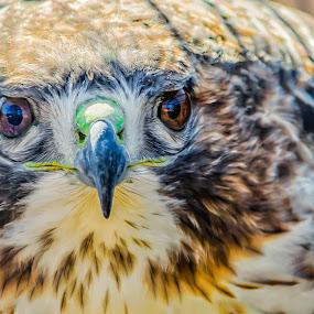 Got My Eye On You! by Lynn Kirchhoff - Animals Birds ( bird, vulture, stare, cooper's hawk, hawk,  )