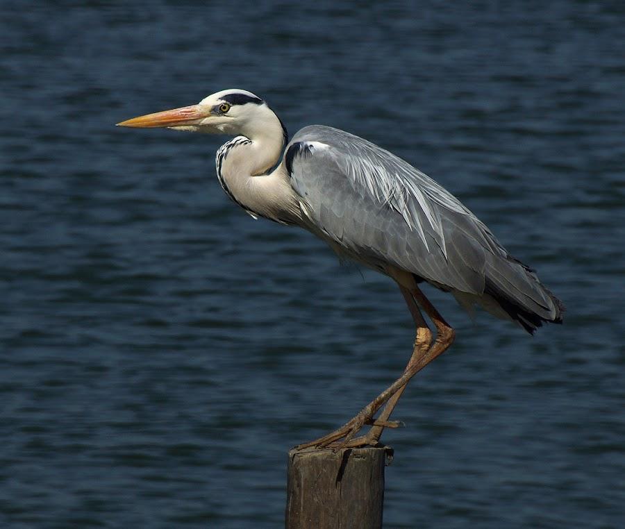 Grey Heron by Seppie Malherbe - Animals Birds