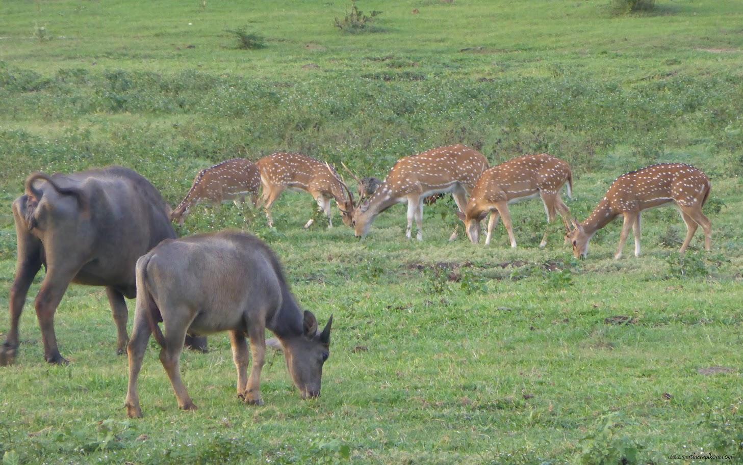 A herd of deers and buffaloes, Uda Walawe, Sri Lanka