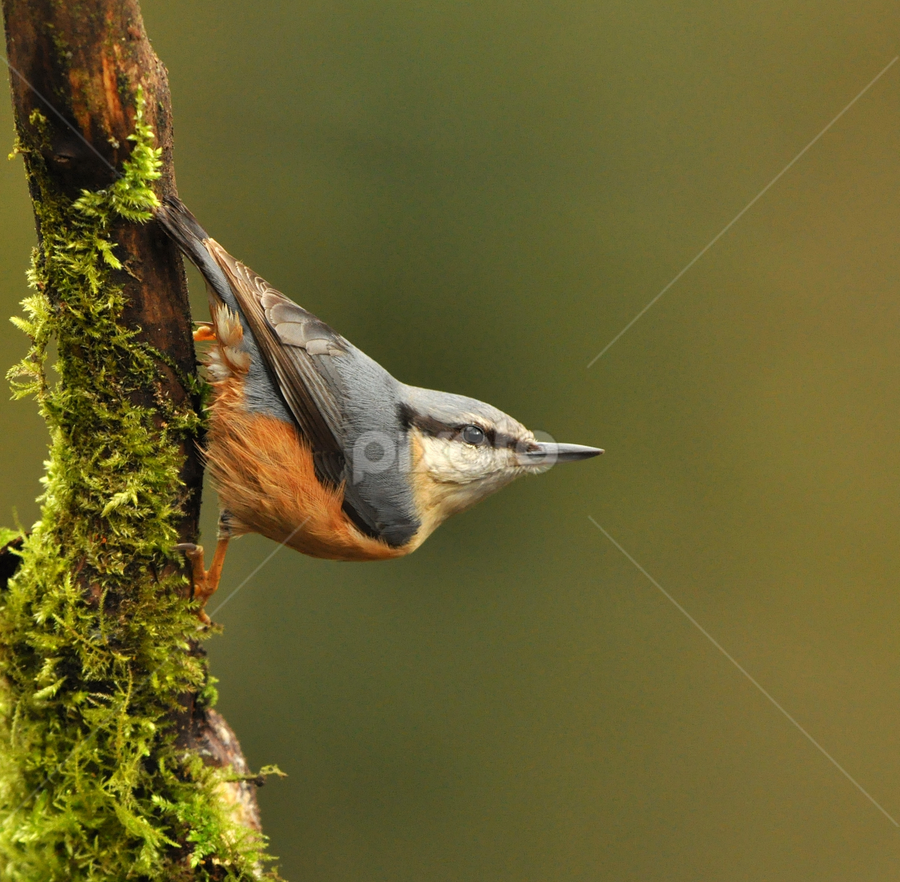 Nuthatch by Keith Bannister - Animals Birds