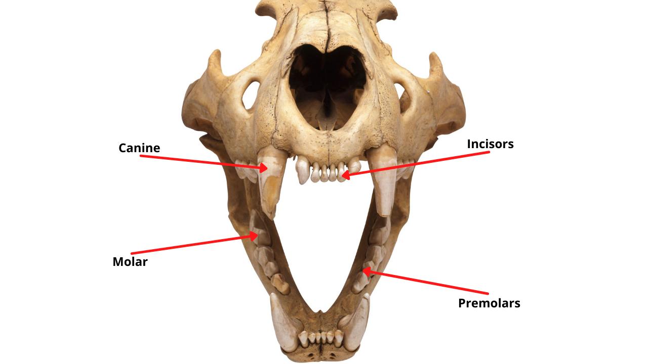 cat teeth diagram