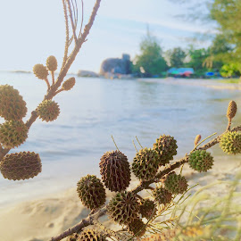 Pine Cone  by Nova Oktaharfianto - Flowers Tree Blossoms ( beachv )