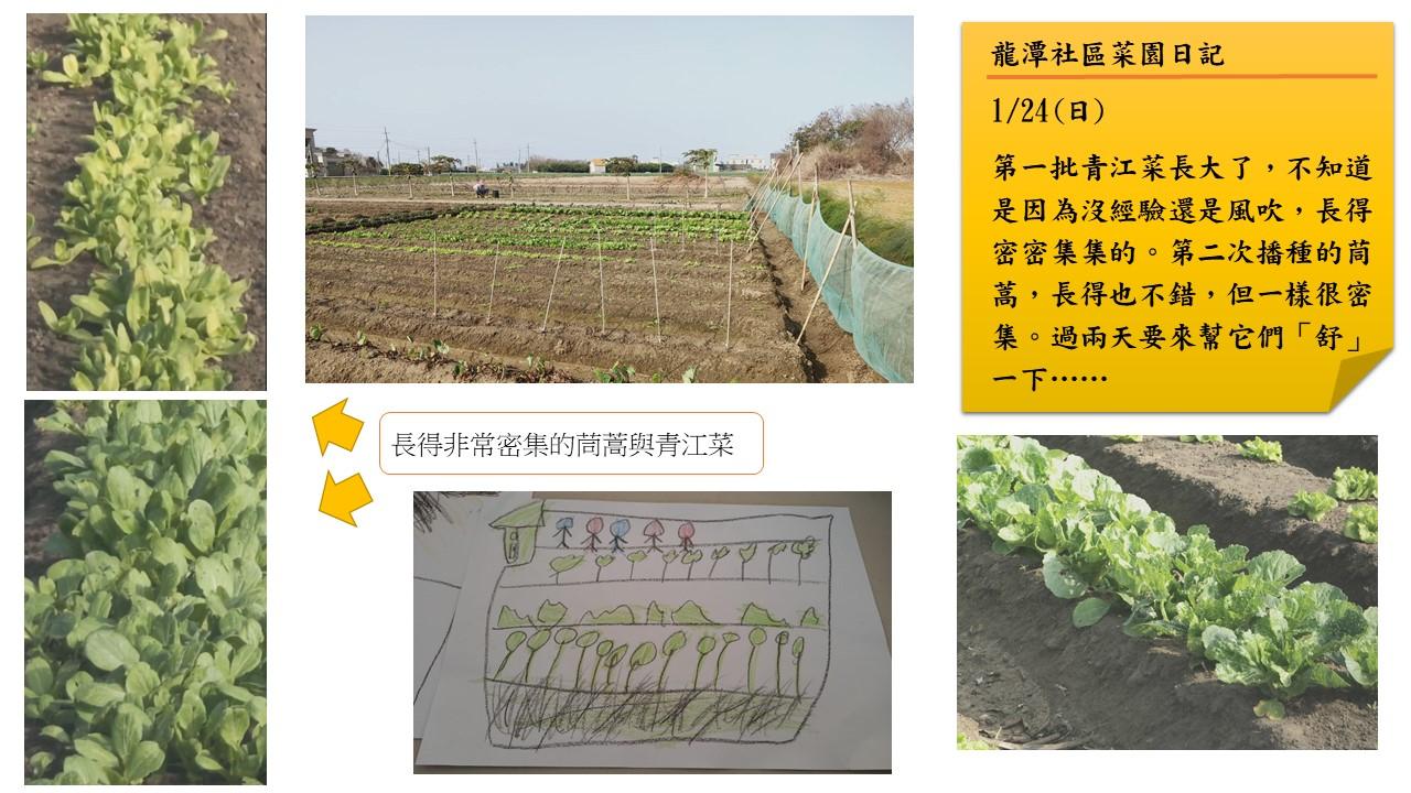 龍潭村社區公共菜園日記:一月二十四日