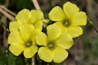 Photo: Oxalis pes-caprae, acetosella gialla,Bermuda-buttercup,