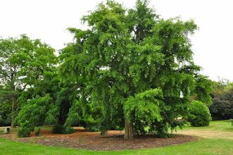 Photo: Ginkgo biloba - habitus - Kew - Royal Botanical Gardens
