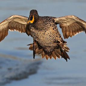 Incoming Yellow-billed duck by Johann Harmse - Animals Birds ( nature, duck, bird, birds, yellow-billed duck,  )