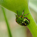 Chinche verde (Southern green shield bug)