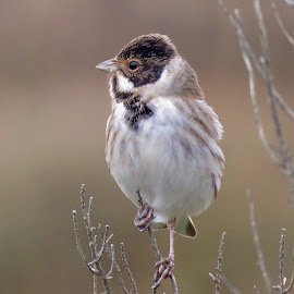 by Nick Swan - Animals Birds ( reed bunting, nature )