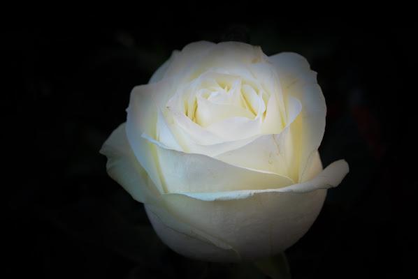 Bianca rosa di Aprile di ph. Manuela Condelli