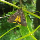 Large Yellow Under-wing Moth