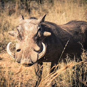 The Warthog by Gerrie van der Walt - Animals Other Mammals ( safari, bush, wildlife, tusk, tusks, africa,  )