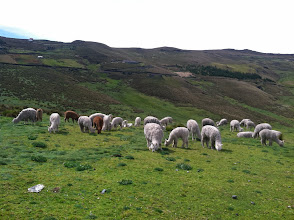 Photo: After days of riding the high mountains of Ecuador we found them! Alpacas!!