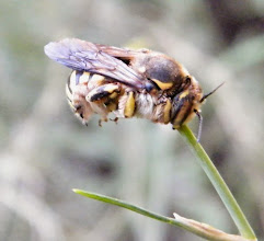 """Photo: Chut ! Je dors ! """"Anthidium manicatum"""" - Anthidie au repos pour la nuit fixée par ses mandibules à une tige de fenouil - 29.07 - 8 h - fenouil à l'ombre fraîche."""