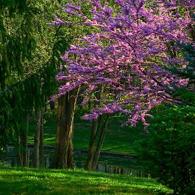Spring Morning by Hugh Hazelrigg - Nature Up Close Trees & Bushes ( tree, park, flora, spring, flower )