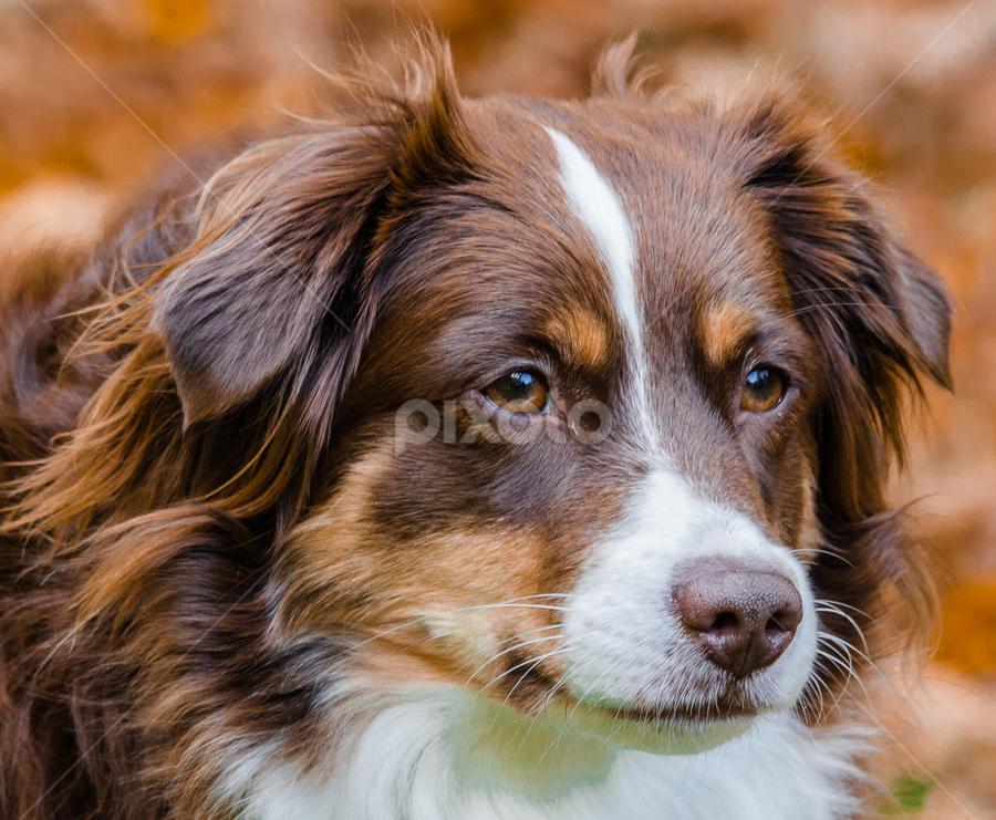 Im serious by Penny Miller - Animals - Dogs Portraits ( mini aussie, australian shepherd, aussie shep, mini australian shepherd, tri color aussie, aussie,  )