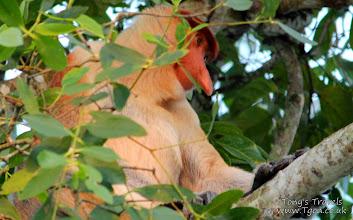 Photo: Proboscis Monkey in Balikpapan, East Borneo, Indonesia