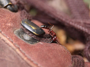 Photo: a driver ant (local name - siyafu) trying to chew my boot lace.