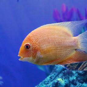 Fish1 260815 by Anup Kumar Adhikari - Animals Fish