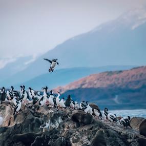 Penguin by Edi Libedinsky - Animals Amphibians ( southern, animal, cold, patagonia, penguin, sea,  )