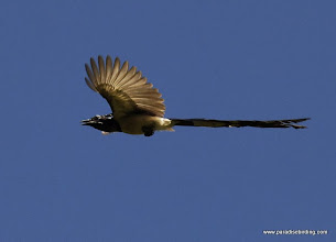 Photo: Black-throated Magpie-Jay overhead at Singayta