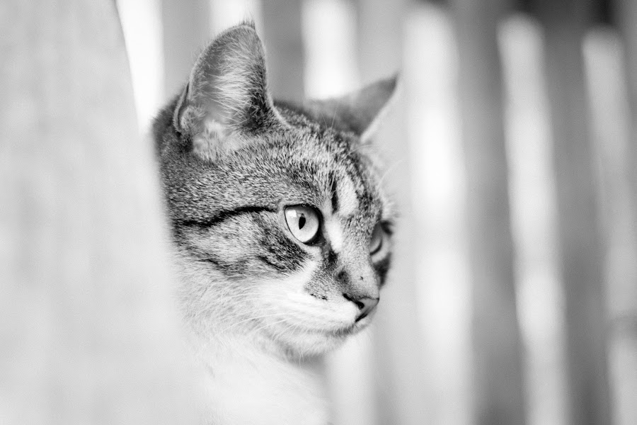 Cat by Aleksandra Davidovic - Animals - Cats Kittens ( cats, amazing, animals, cat, b&w, pet, pets, white, cute, black, and, animal,  )
