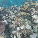 Coral cuerno de ciervo