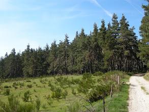 Photo: La végétation est composée de forêts de pins sylvestres et de hêtres, de boisements artificiels d'épicéas ; de landes à genêt purgatif et de bruyère. On trouve également des tourbières où l'on peut trouver des plantes reliques des glaciations (en particulier le très rare bouleau nain ainsi que le saule des lapons). Une des plus intéressantes est celle de Lajo non loin de Saint-Alban-sur-Limagnole.