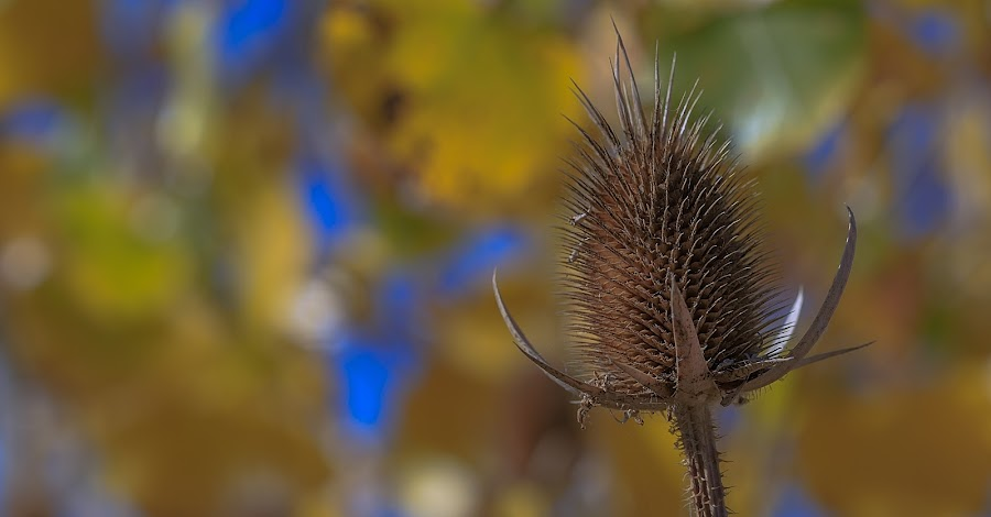Fall weeds by Gary Shaddox - Nature Up Close Other Natural Objects ( fall leaves, thistle, fall colors, thistles, plants,  )