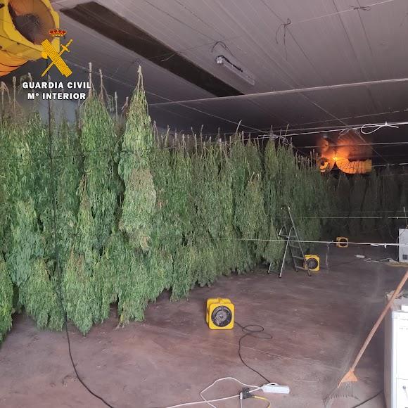 Gran plantación de cannabis.