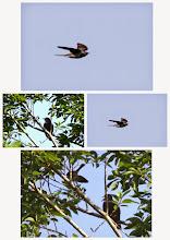 Photo: 撮影者:福本 健 ホトトギス タイトル:ヒナでしょうか 観察年月日:2014年6月16日 羽数:2羽 場所:多摩川の谷地川との合流付近(栄町) 区分:托卵 メッシュ:立川1B コメント:ホトトギスが鳴いているので、見に出かけた。良く止まる木の近くで待っていると、鳴きながら飛んできた。写真を撮り始めると、上の枝から羽根を広げて鳥がぶら下がるように下りてきて枝に止まった。オスは一緒にいてしばらく鳴いていたが、飛んで行った。もう1羽は見えなくなったが飛んで行った気配はなかった。ホトトギスのヒナだろうか。ホトトギスはヒナの面倒は見ないと聞いていたが、どうでしょう。尾が長いのでホトトギスの幼鳥のようにも見える。