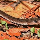 Slender-tailed Wolf Snake