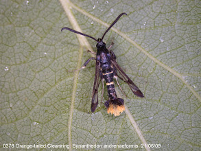Photo: Orange-tailed Clearwing