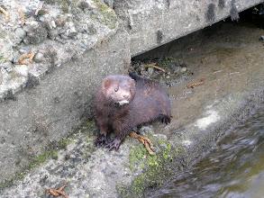 Photo: Adult mink
